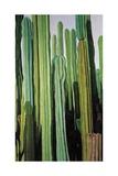 Vertical Candelabro Cactus in Oaxaca  2003