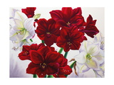 Red and White Amaryllis  2008