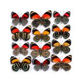 Callicore Butterflies