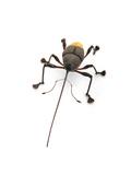 Borneo Weevil