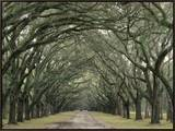 Moss-Covered Plantation Trees  Charleston  South Carolina  USA
