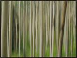 Soft Focus View of an Aspen Tree Forest