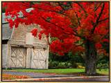 Tree with Red Leaves and Barn