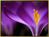 """Crocus Crysanthus """"Eye Catcher"""" (Extreme Close-up) March"""
