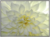 Close Up of a White Dahlia Flower