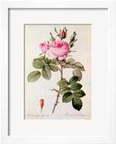 """Rosa Bifera Officinalis  from """"Les Roses"""" by Claude Antoine Thory"""