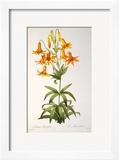 Lilium Penduliflorum  from Les Liliacees  1811