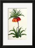 Fritillaria Imperialis From  Les Lilacees  1802-8