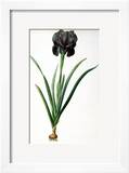 """Iris Luxiana  from """"Les Liliacees"""""""