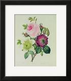 Rose  Anemone and Clematide