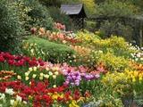 Tulips at Little Larford