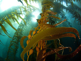 Chanthe View Underwater Off Anacapa Island of a Kelp Forest