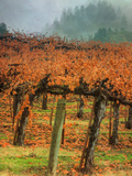 Autumn Misty Morning Vineyard  Napa