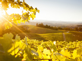 Healdsberg  Sonoma County  California: Sunset on Northern California Vineyards