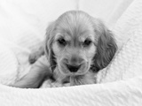 Dog Breeds - Cocker Spaniel - Puppies - English Cocker