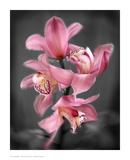Cymbidium Orchid Bright Pink