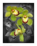 Cymbidium Orchid Green