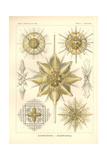 Acanthometra - Stachelstrahlinge  Pl21 from 'Kunstformen Der Natur'  Engraved by Adolf Giltsch …