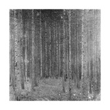 Fir Forest I  1909
