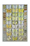 Papuan Butterflies 1  1917-18