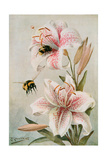 Bees and Lilies  Illustration from 'stories of Insect Life' by William J Claxton  1912