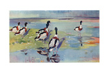 Shelducks on the Flats  Illustration from 'Wildfowl and Waders'
