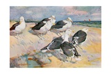 Black-Backed Gulls  Illustration from 'Wildfowl and Waders'