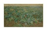 The Turnip Field