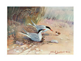 Common Tern  Illustration from 'Wildfowl and Waders'