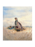 Two English Partridges  1903