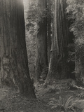 A 22 Foot Wide Redwood  1920
