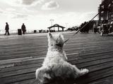 Coney Island Dog  NY  2006