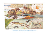Development of the Frog  Illustration from 'Country Days and Country Ways'