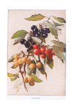 Cherries  Illustration from 'Country Days and Country Ways'