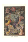 Actiniae - Sea Anemone  Pl49  from 'Kunstformen Der Natur'  Engraved by Adolf Giltsch  Published…