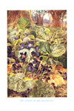 Violets in the Beechwood  Illustration from 'Country Ways and Country Days'