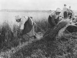 Harvesters  the Sheaf Binders  c1900