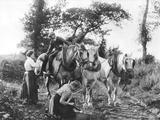 Team of Boulonnais Horses  c1900