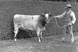 A Prize Cow  Sandringham  from 'The English Country House'