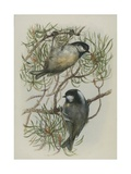Coal Tit  Illustration from 'A History of British Birds' by William Yarrell  c1905-10