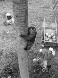 Monkey Collecting Coconuts  1980