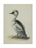 Smew  Illustration from 'A History of British Birds' by William Yarrell  c1905-10
