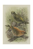Crossbill  Illustration from 'A History of British Birds' by William Yarrell  c1905-10