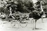 Woman Driving an Ostrich Carriage at the Ostrich Farm  Los Angeles  California  c1920