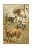 Musk Deer  Llama  Vicunia and Sooty Paca