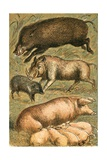 Wild Boar  Wart Hog  Peccary  Sow and Pigs