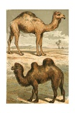 Arabian Camel and Bactrian Camel