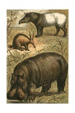 Cape Anteater  Malay Tapir and Hippopotamus