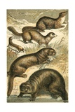 Weasel  Sable  Marten  Otter and Sea Otter
