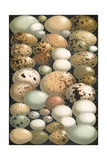 Some Favourite British Birds' Eggs